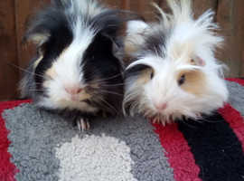 Funky baby guinea pigs 2