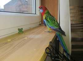Rosella for sale
