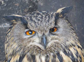 2 Female European Eagle Owls
