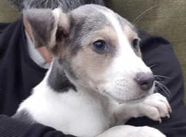 Last Male Blue Beagle
