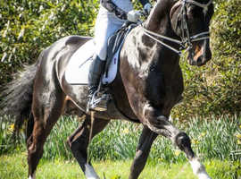 Intelligent Hanoverian Gelding
