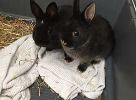 Netherlands dwarf rabbits with cage