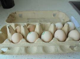 pekin bantum eggs