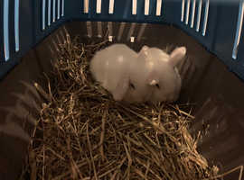 2 pure white holland lops for sale