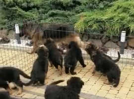 4 KC and FCI registered long haired German Shepherd puppies