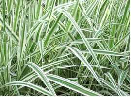 VARIEGATED POND GRASS