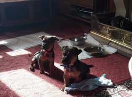 Lovely well behaved Jacks