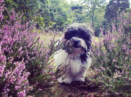 6 month old Shihpoo puppy female