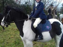 Cob type pony for sale fr