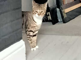 Bengal cross male 11months urgently needs re homed