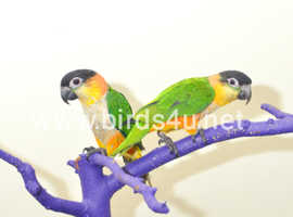 Baby Black headed Caiques for sale.15