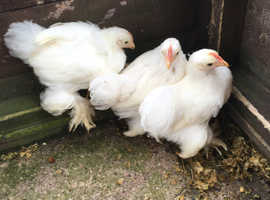 White pekin cockeralls