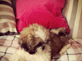Stunning shih tzu puppies **one girl left***