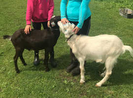2 friendly castrated 18 month old goats