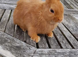 Red baby Netherland Dwarf - very small female