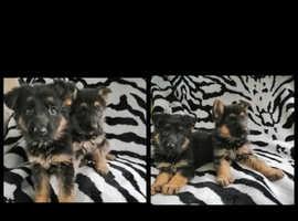 2 Available German Shepherd Puppies