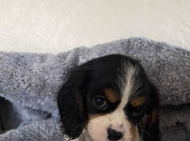 Stunning kc registered cavalier king charles spaniel puppy