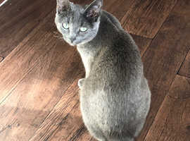 Russian blue girl for sale