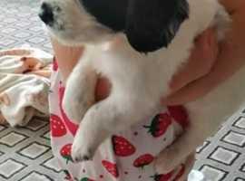 Sprocker boy puppy