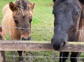 Standard registered Shetland gelding