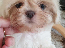 White K.C registered imperial shih tzu puppies