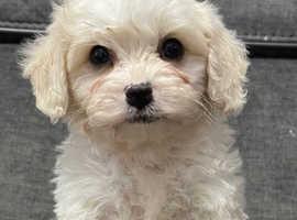 Cavapoocions Puppies LAST BOY LEFT