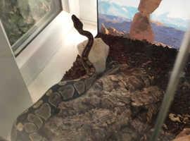 18 inch female Royal python. CB18