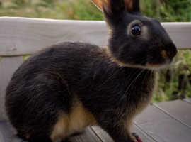 Beautiful BRC Rung Belgian Hares
