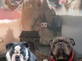 new england bulldog puppies