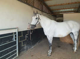 Super 15.1 gelding out king of diamonds