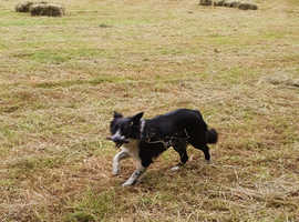 4 Collies forsale