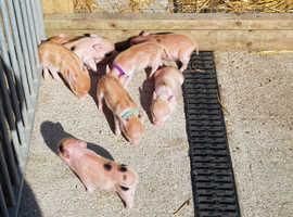 Mini pigs pure juliana pigs