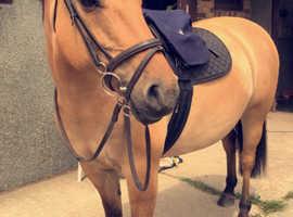 Stunning 14.1hh Dun mare