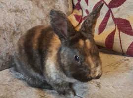 Mini Rex baby rabbit