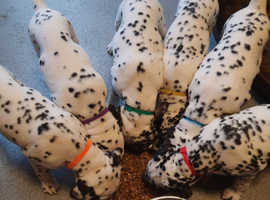 KC registered dalmatian puppys ready go to new home