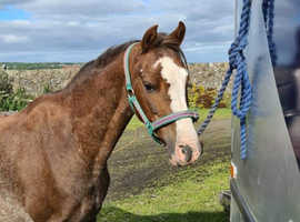 Welsh B lead Rein pony for sale