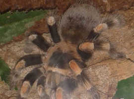 Good home offered for unwanted tarantulas and other inverts locally