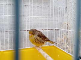 Gloucester canary,,,,