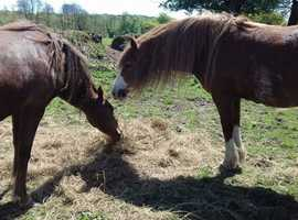 Two Welsh Cob X mares for sale