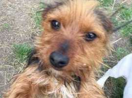 Yorkshire terrier bitch for rehoming
