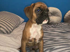 Lovely litter of KC REG Boxer Puppies