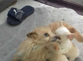 Two beautiful chorkie puppies for sale