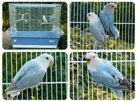 2 stunning baby opaline blue lovebirds and cage for sale