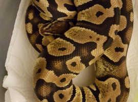 Pastel Royal Python with full set up