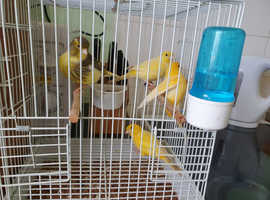 Breeding pair of Canaries for sale