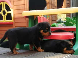 Amazing Rottweiler Puppies