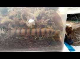 2 species of centipede for sale