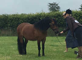 Well bred 4 year old Dartmoor to make rihs/hoys Lr/fr