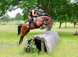 Registered Irish sport horse