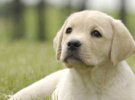 WANTED Labrador Puppy